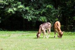 Il vitello mangia l'erba immagine stock