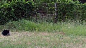 Il vitello mangia un'erba verde stock footage