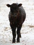 Il vitello solo fissa profondamente attraverso la tempesta della neve immagini stock libere da diritti