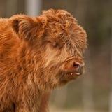 Il vitello sveglio del bestiame dell'altopiano ha mangiare il latte intorno alla bocca Fotografie Stock