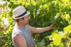 Il viticoltore sta controllando l'uva bianca nella vigna da tempo soleggiato Fotografia Stock