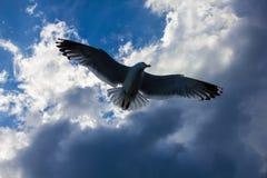 Il volo dei gabbiani nel cielo nuvoloso Fotografia Stock Libera da Diritti