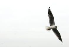 Il volo del gabbiano libera. Fotografia Stock