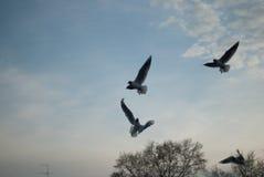 Il volo del gabbiano sul cielo Fotografie Stock Libere da Diritti