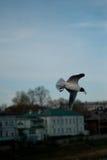Il volo del gabbiano sul cielo Fotografia Stock