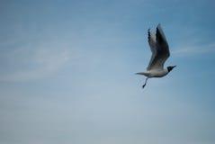 Il volo del gabbiano sul cielo Immagine Stock Libera da Diritti