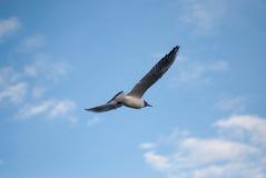 Il volo del gabbiano sul cielo Fotografia Stock Libera da Diritti