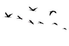 Il volo del ibis.isolated sacro. Immagini Stock