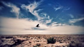 Il volo del merlo Fotografie Stock Libere da Diritti