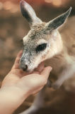 Il wallaby Fotografia Stock Libera da Diritti