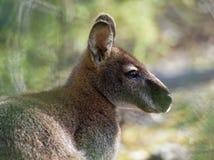 Il wallaby di Bennett- rufogriseus del Macropus, anche wallaby dal collo rosso, marsupiale di medie dimensioni di macropodide,  immagini stock libere da diritti