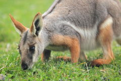 roccia-wallaby Giallo-footed Fotografia Stock