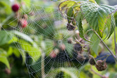 Il web del ragno nei boschetti del lampone immagine stock libera da diritti