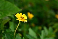 Il wedelia rampicante ostenta la bellezza Fotografia Stock Libera da Diritti