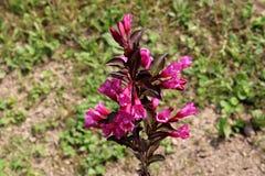 Il Weigela ha rovesciato i fiori rosa-magenta del vino con le foglie rosse vino-scure Immagine Stock Libera da Diritti