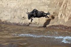 Il Wildebeest salta nel fiume da un'alta scogliera Immagine Stock