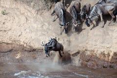Il Wildebeest salta nel fiume da un'alta scogliera Fotografie Stock