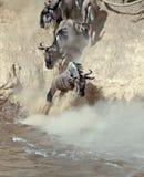 Il Wildebeest salta nel fiume da un'alta scogliera Fotografia Stock