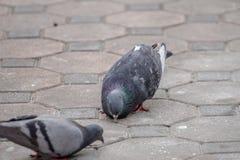 Il y a bien longtemps, l'oiseau de pigeon est le messager utilisé dans la guerre Photographie stock