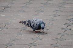 Il y a bien longtemps, un brid de pigeon de messager étant employé dans la guerre Image stock