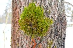 Il y a des variations de croissance saisit à un lichen simple les espèces, zones grises entre le type descriptions de croissance images libres de droits