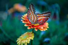 Il Yunnan Dali Butterfly Spring Butterfly Fotografie Stock