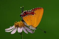 Ila /male/butterfly van Heliophorus royalty-vrije stock fotografie