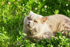 Ilac british cat sitting on a floral green meadow. Lilac british cat sitting on a floral green meadow and basking in the sun Royalty Free Stock Image
