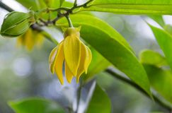 Ilang-Ilang gelbe Blumen sind, wohlriechend blühend und auf dem Baum lizenzfreies stockbild
