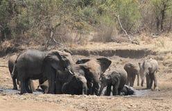 Ile Afrykańskich słoni mogą dostosowywać w kąpielowej balii? Obrazy Royalty Free