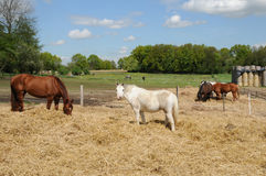 France, horses in a field in Boisemont Royalty Free Stock Images