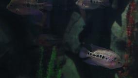 Ilesi de Copadichromis en vídeo maravillosamente adornado de la cantidad de la acción de Marine Aquarium almacen de metraje de vídeo