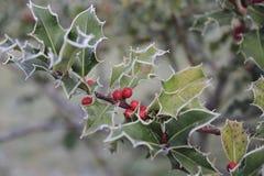 Ilex, падуб в зиме с изморозью и ягоды Стоковая Фотография