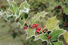 Ilex, падуб в зиме с изморозью и ягоды Стоковое фото RF