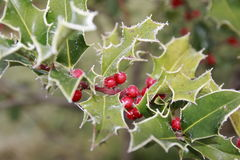 Ilex, падуб в зиме с изморозью и ягоды Стоковые Изображения RF