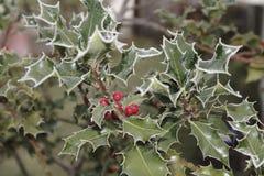 Ilex, падуб в зиме с изморозью и ягоды Стоковые Изображения