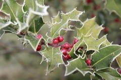 Ilex, падуб в зиме с изморозью и ягоды Стоковое Изображение