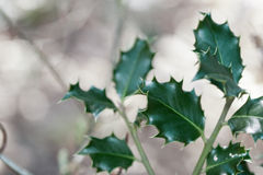 Ilex. Leaves over a blurred background royalty free stock image