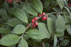 Ilex x altaclarensis branch. With red fruits royalty free stock photo