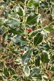 Ilex aquifolium, common, English, European, Christmas holly, Royalty Free Stock Photography