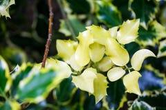 Ilex aquifolium (Golden queen holly). Tree and details Royalty Free Stock Photo