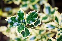 Ilex aquifolium (Golden queen holly). Tree and details Stock Photos