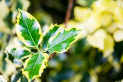 Ilex aquifolium (Golden queen holly). Tree and details Royalty Free Stock Photography