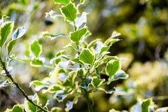 Ilex aquifolium (Golden queen holly). Tree and details Royalty Free Stock Image