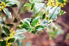 Ilex aquifolium -Golden queen holly. Tree and details Stock Images