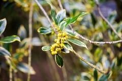 Ilex aquifolium -Golden queen holly Stock Photos
