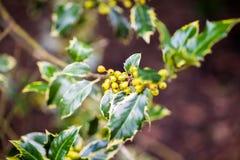 Ilex aquifolium -Golden queen holly. Tree and details Stock Photo