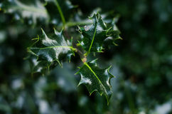Ilex aquifolium leafs. Christmas holly branch of ilex background wallpaper Stock Photos