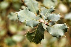 Ilex Aquifolium leaves texture stock image