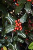 Lush foliage and red berries of Ilex aquifolium. Ilex aquifolium shrub with red fruit stock photo